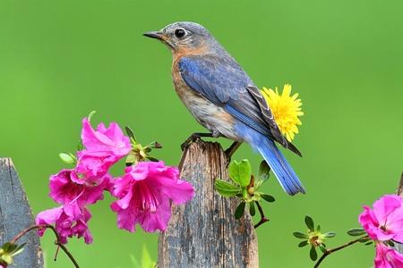 Female Eastern Bluebird (Sialia sialis) on a fence with azalea flowers
