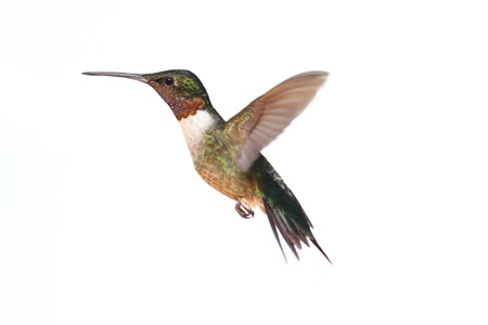 Photo pour Male Ruby-throated Hummingbird (archilochus colubris) in flight isolated on a white background - image libre de droit