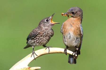 Female Eastern Bluebird (Sialia sialis) feeding a hungry baby on a deer antler