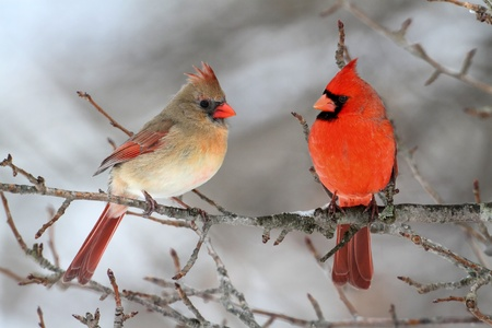 Pair of Northern Cardinal (cardinalis cardinalis) in a tree