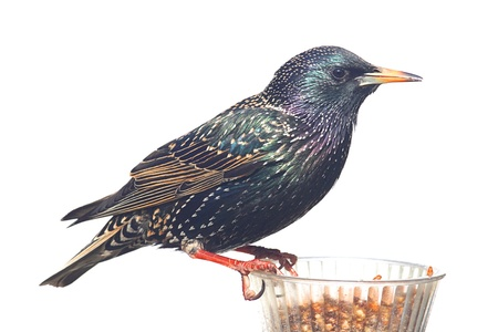 European Starling (Sturnus vulgaris) in winter plumage on a feeder isolated on a white background