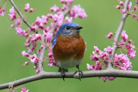Male Eastern Bluebird  Sialia sialis  with pink flowers