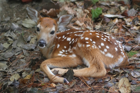 White-tailed Deer (Odocoileus virginianus) Fawn just a little over an hour old