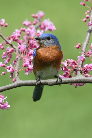 Male Eastern Bluebird (Sialia sialis) in a cherry tree with flowers