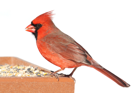 Male Northern Cardinal (cardinalis cardinalis) on a feeder in winter