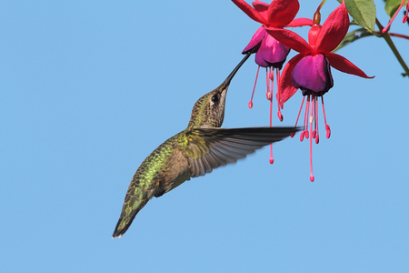 Juvenile Ruby-throated Hummingbird (archilochus colubris) in flight at a fuschia flower with a blue background