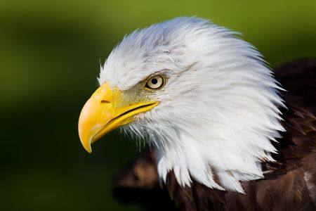 High resolution bald eagle portrait