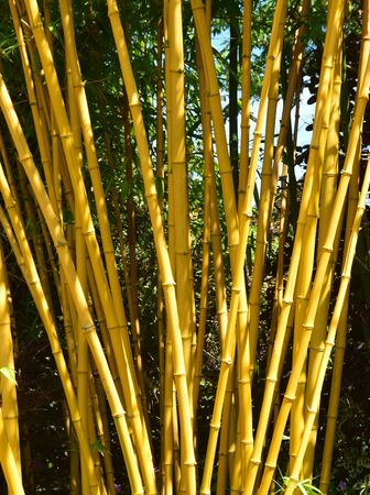 Bamboo.These yellow colored bamboo positively glow in the summer sun.