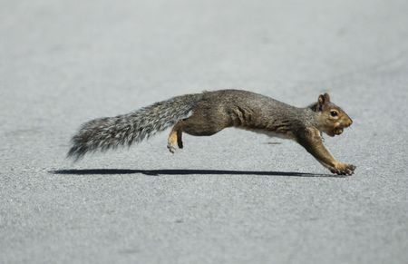 Squirrel Crossing the Street with a Nut in Its Mouth