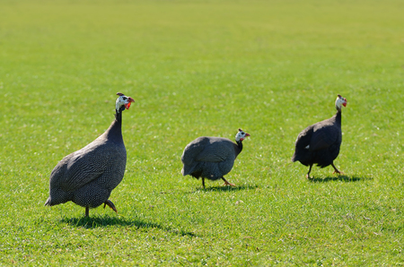 Wild guinea fowl on the green grass