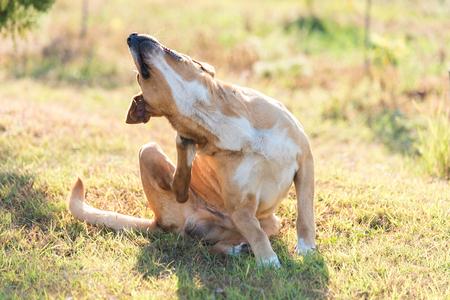 Photo pour Labrador dog scratching in the garden a sunny day - image libre de droit