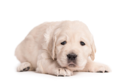 Photo for Little Golden Retriever dog on a white background - Royalty Free Image