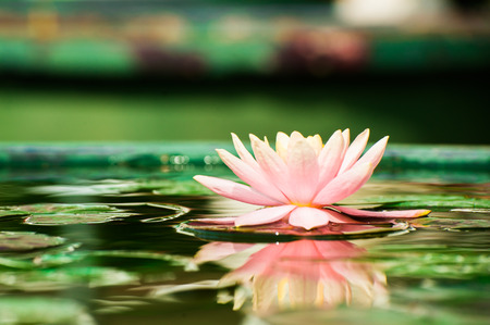 Beautiful Lotus water lily in pond