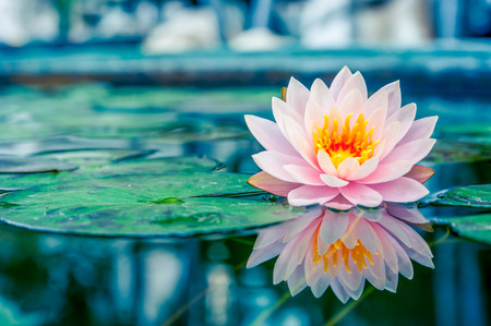 Photo for Beautiful Pink Lotus, water plant with reflection in a pond - Royalty Free Image