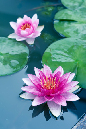 Photo for Beautiful Pink Lotus, water lily - Royalty Free Image