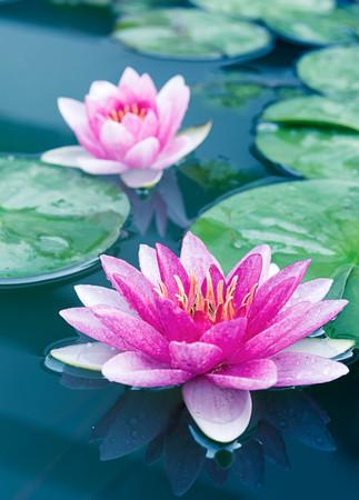 Photo pour Close up beautiful Pink Lotus, water lily - image libre de droit