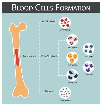 Illustration pour Blood cells Formation ( bone marrow produce blood cells series : erythrocytes , lymphocytes , neutrophils , monocytes , eosinophils , basophils , thrombocytes ) Haematology concept and infographics - image libre de droit