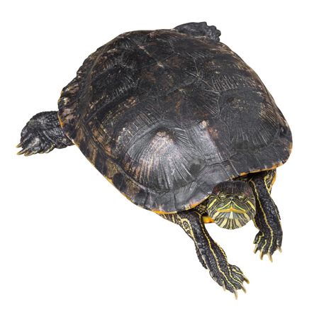 Red eared slider turtle ( Trachemys scripta elegans ) is creeping and raise one's head on white isolated background . Top view .