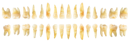 Photo for Tooth diagram ( photography ). Real teeth chart . front horizontal view . isolated white background . - Royalty Free Image