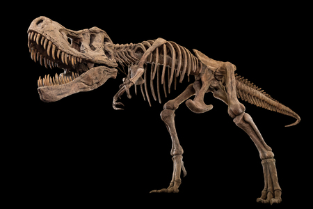 Photo pour Tyrannosaurus Rex skeleton on isolated background . Embedded clipping paths . - image libre de droit