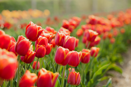 Photo for beautiful various tulips at field in holland - Royalty Free Image