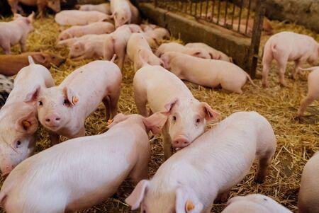 Foto de Young Piglets at Livestock Farm - Imagen libre de derechos