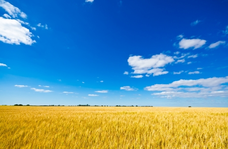 Photo pour Golden wheat field and blue sky - image libre de droit