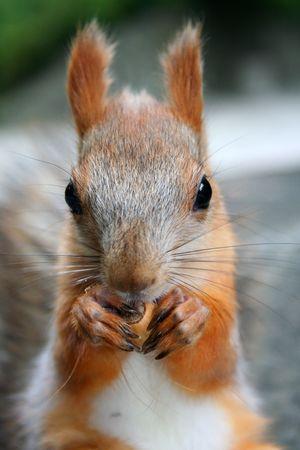 squirrel that nibble nuts, nutcracker