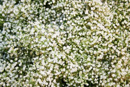 The Beautiful gypsophila flowers, Caryophyllaceae