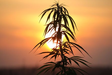 Hemp plant at sunset