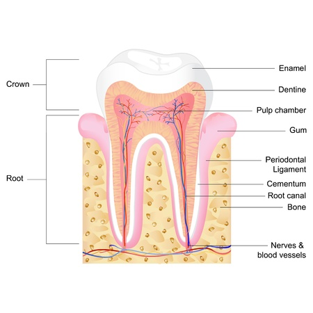 vector illustration of human tooth anatomy with label