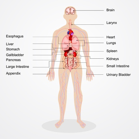 vector illustration of diagram of human anatomy
