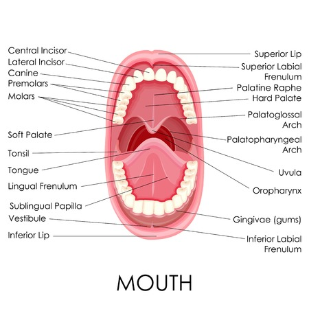 vector illustration of diagram for anatomy of human mouth