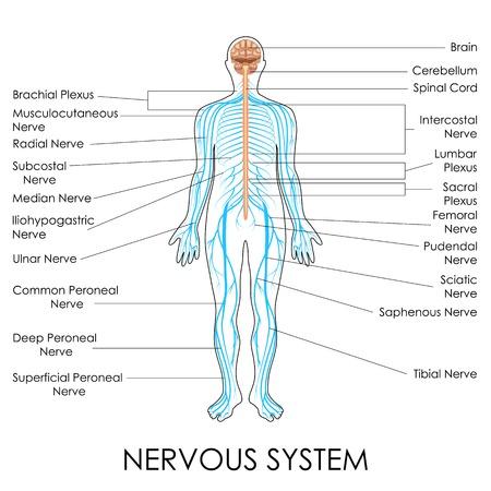 vector illustration of diagram of nervous system