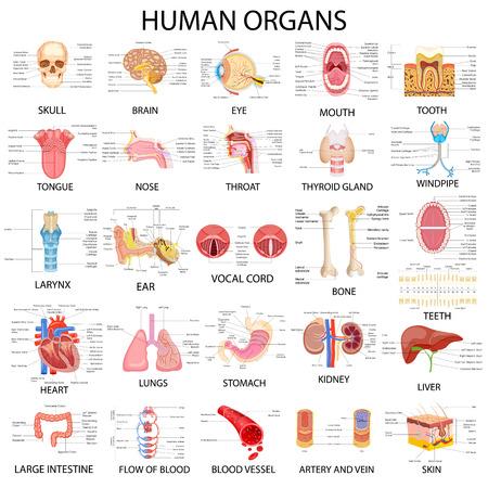 Illustration pour vector illustration of complete chart of different human organs - image libre de droit