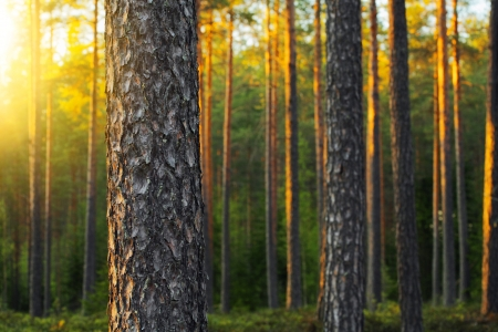 Nordic pine forest in evening light. Short depth-of-field.