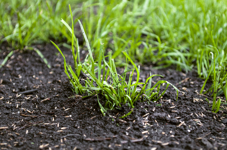 Foto per Growing up grass seeds - Immagine Royalty Free