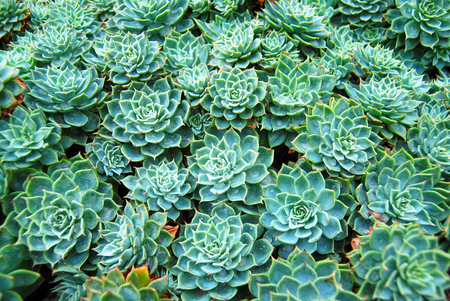 Star succulents flowerbed