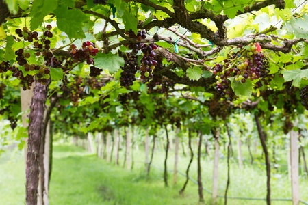 Red grape vine in the yard