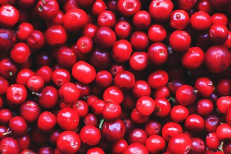 Photo for many berries of red lingonberry. lingonberry background. lingonberry close - Royalty Free Image