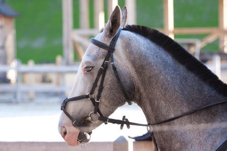 young beautiful grey  horse utdoor with reins