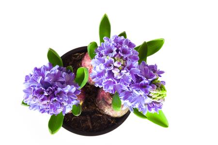 Photo pour Beautifull blue flower hyacinth in a pot on a white background. Toned. - image libre de droit