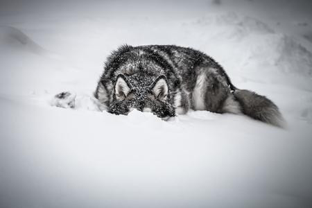 Photo pour Dog breed Alaskan Malamute on a snow. Toned. - image libre de droit