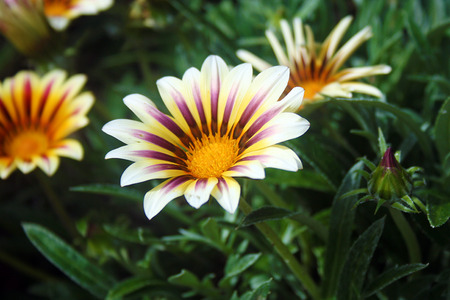 white petaled flower with purplish streak in the middle and yellowish tinge towards the center