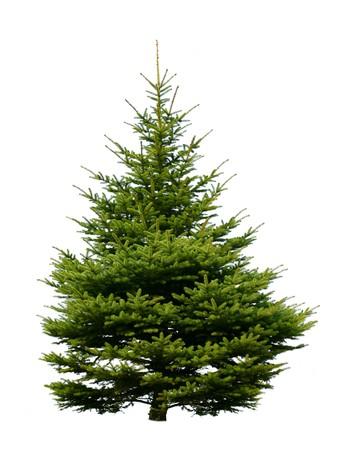 Fur-tree  isolated