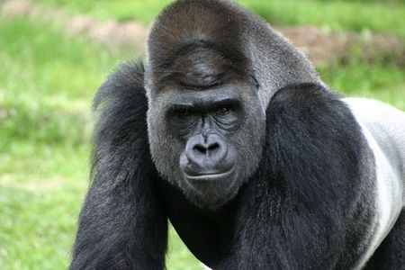 Intimidating stare of a silverback gorilla