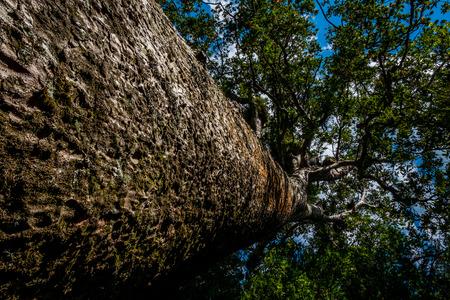 Photo pour Kauri tree - image libre de droit