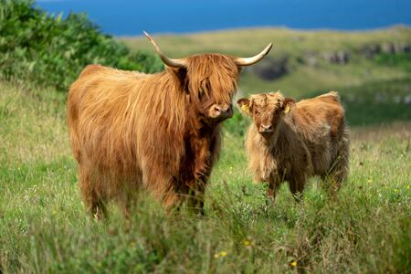 Photo pour Highland cattle family on Isle of Mull, Scotland - image libre de droit