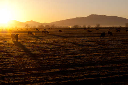 A beautiful morning sunrise on the cold crisp Nevada field.  The cows are out early and ready to eat.