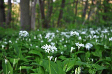 A lot of blooming wild garlic (Allium ursinum) in a forest glade. Close-up, selective focus.